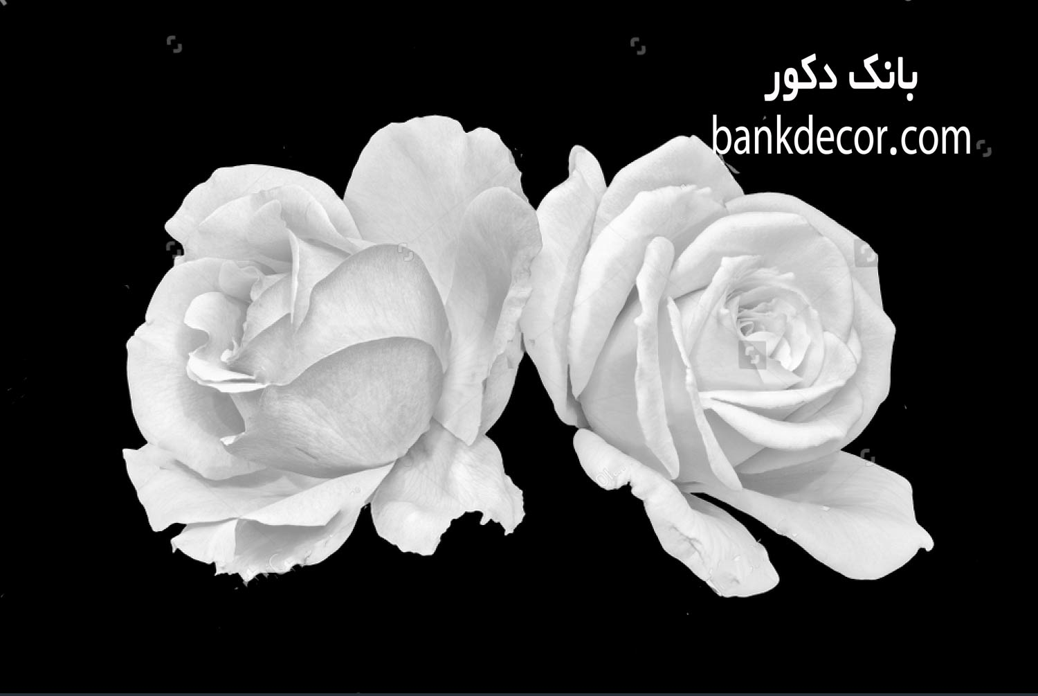 stock-photo-monochrome-black-and-white-fine-art-still-life-bright-floral-macro-of-a-pair-of-white-open-rose-1187110843.jpg
