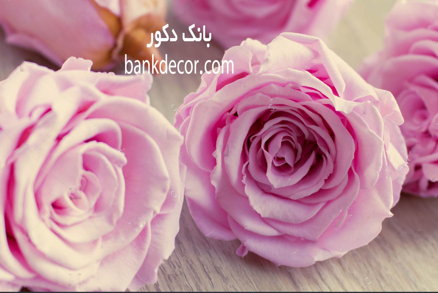 stock-photo-pink-roses-2354635.jpg